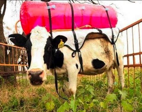 cow-flatulence-tax